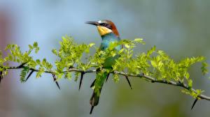 Pictures Birds Branches Bokeh golden bee-eater Animals