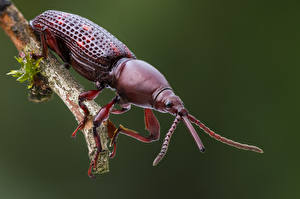 Papel de Parede Desktop Besouro Insetos De perto brentidae Animalia