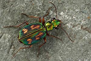 Fotos & Bilder Käfer Insekten Großansicht pericalus Tiere