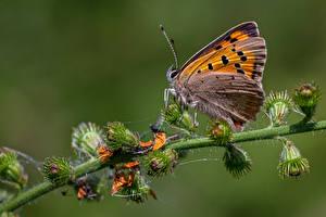 壁紙,蝴蝶,昆虫,特寫,large copper,動物,