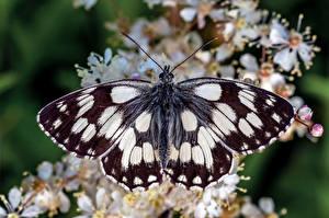 Fonds d'écran Papilionoidea Insectes En gros plan marbled white un animal