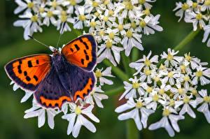 Fonds d'écran Papillons Insectes En gros plan small copper un animal