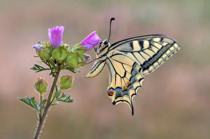 Tapety na pulpit Motyl Owady Zbliżenie swallowtail