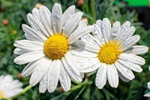 Tapety na pulpit Zbliżenie Rumianki Bokeh Biały Kropli Kwiaty