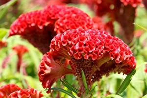 Photo Closeup Bokeh Red Celosia Flowers