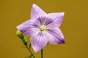 Fondos de escritorio De cerca Fondo de color Decoración de la estrella Campana flor