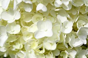 Picture Closeup Hydrangea White flower