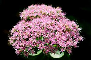 Picture Closeup Pink color Black background Hylotelephium telephium, orpine
