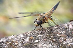 Wallpapers Closeup Insects Dragonflies Bokeh Animals pictures images