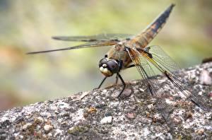 Fonds d'écran En gros plan Insectes Odonata Bokeh Animaux