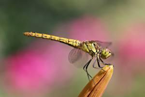Fonds d'écran En gros plan Insectes Libellules Arrière-plan flou Latéralement Animaux