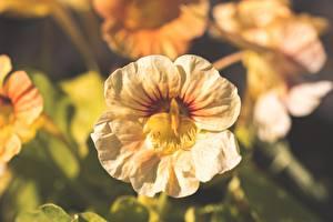 Hintergrundbilder Hautnah Bokeh Nasturtium, Tropaeolum Blumen