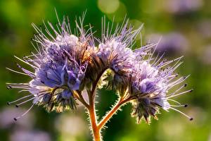 Pictures Closeup Violet Blurred background Phacelia