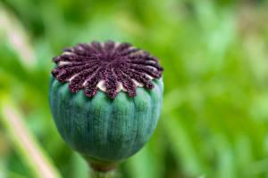 Hintergrundbilder Hautnah Mohnblumen Unscharfer Hintergrund Blütenknospe Blüte