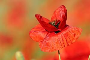 Fonds d'écran En gros plan Pavots Arrière-plan flou Rouge fleur
