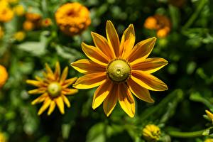 Wallpapers Closeup Bokeh Yellow Rudbeckia Flowers pictures images