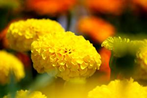 Fotos Nahaufnahme Sammetblume Bokeh Gelb Blumen