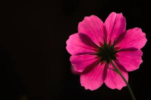 Pictures Cosmos plant Black background Pink color