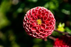 Wallpapers Dahlias Closeup Bokeh Red Flowers pictures images