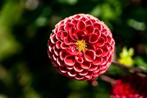 Fonds d'écran Dahlias En gros plan Bokeh Rouge fleur