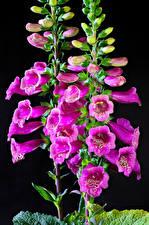 Fondos de escritorio Dedaleras De cerca Fondo negro Rosa color Brote Flores