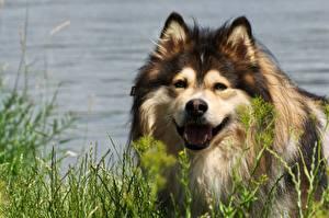 Bureaubladachtergronden Hond Hoofd Kijkt Gras Finnish Lapphund