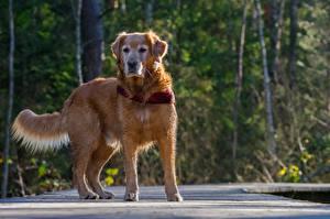Bureaubladachtergronden Honden Golden retriever Bokeh Dieren