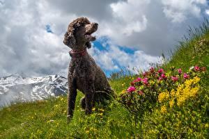 Bureaubladachtergronden Hond Gras Poedel Zitten
