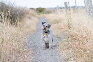 Bureaubladachtergronden Hond Gras Pad weg Zittend Kijkt Lakeland Terrier