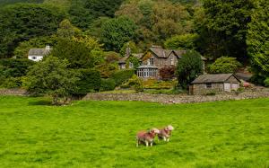 Fotos England Hausschaf Haus Dorf Bäume Gras Grasmere Natur