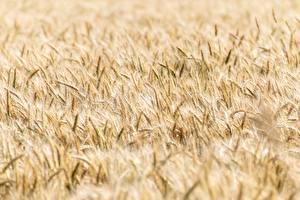 Tapety Pole rolnictwo Pszenica Bokeh Kłos Kwiaty zdjęcia zdjęcie