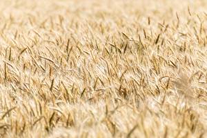 Hintergrundbilder Acker Weizen Unscharfer Hintergrund Ähren