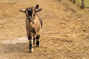 Fotos Hausziege Ziegen Jungtiere Unscharfer Hintergrund Tiere