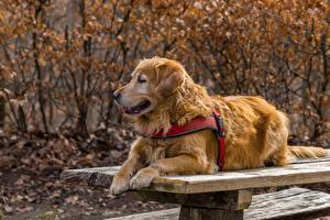 Bureaubladachtergronden Golden retriever Honden Tafel Ligt een dier
