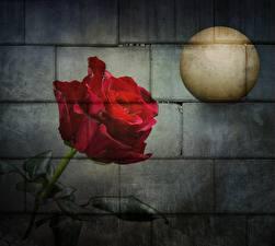 Bilder Graffiti Rose Mauer Mond
