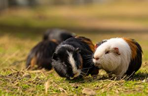 Wallpapers Guinea pigs Rodents Grass Bokeh Animals pictures images