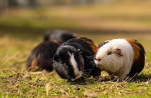 Desktop hintergrundbilder Hausmeerschweinchen Nagetiere Gras Unscharfer Hintergrund Tiere