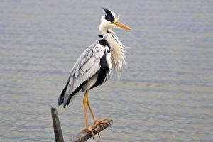 Bakgrundsbilder på skrivbordet Hägrar Sidovy Tass Grey Heron Djur