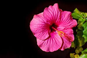 Tapety na pulpit Hibiskus Czarny Różowy kolor Kwiaty