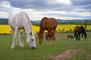 Hintergrundbilder Hauspferd Gras Essen Tiere