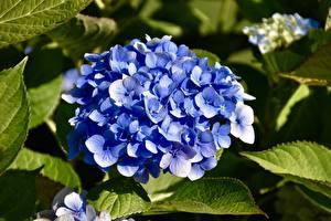 Fotos Hortensien Großansicht Blau Blumen