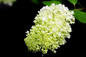 Pictures Hydrangea Closeup White