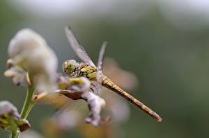 Papel de Parede Desktop Insetos De perto Odonata Bokeh animalia