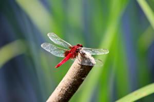 Tapety na pulpit Insekty Ważka Rozmazane tło Czerwony