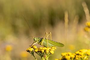 Tapety na pulpit Insekty Konik polny Bokeh Widok z boku Zielony zwierzę