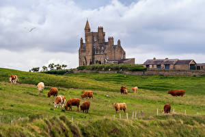 Picture Ireland Castles Cows Tower Clouds Classiebawn Castle Animals