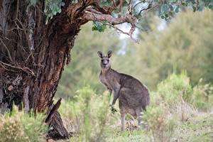Fotos Kängurus Unscharfer Hintergrund Starren Tiere