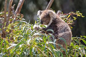 Sfondi desktop Koala Rami Foglia Sfondo sfocato Animali