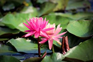 Pictures Lotus flower Pink color Blurred background