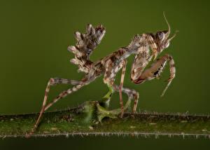 Tapety na pulpit Modliszka Insekty Zbliżenie thistle mantis Zwierzęta